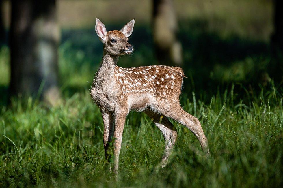 Chomutovský zoopark je jednou z pěti zahrad, kterým se loni podařilo odchovat mláďata silně ohrožených jelenů bucharských.
