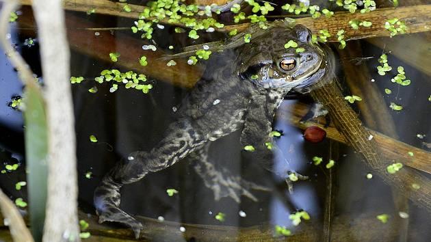 Rozmnožování žab na Chomutovsku