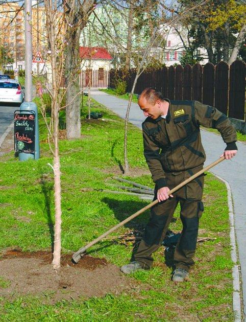 Jeden z pracovníků ONZA Roman Suchý upravuje hlínu okolo čtyř sakur vysázených u Kludského vily.