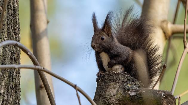 Veverky v chomutovském parku.