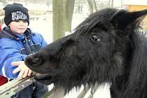 Bild vergrößern KRMENÍ UMOŽŇUJE většinou přímý kontakt se zvířaty. Poníci se seběhli ke skupince táborníků, jakmile u ohrady děti začaly v natažené ruce servírovat připravené granule.