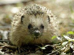 """Stále více lidí si pořizuje ježka jako domácího mazlíčka. Vhodný je k tomu například africký ježek bělobřichý. Pokud ale chcete """"zachránit"""" ježka z lesa či parku, zjistěte si nejprve, zda vaši pomoc skutečně potřebuje."""