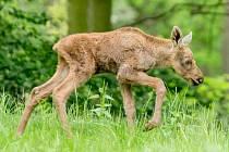 Mládě losa evropského narozené v zooparku.