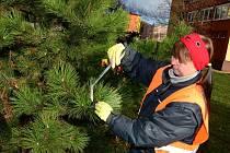 PÁCHNOUCÍ nátěr získaly všechny stromky , které byly vysázené letos, avšak nejen ty.