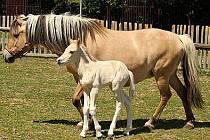 Hříbě Fjorského koně se svou matkou.