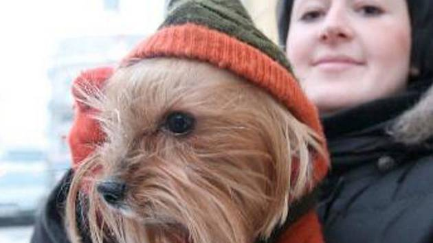SÁRA v KAPUCI. Tereza Bydžovská z Chomutova koupila své yorkšírské teriérce Sáře pletený zeleno oranžový obleček i s kapucou.