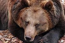 Medvědi ještě pospávají. Sluníčko už je ale láká ven.