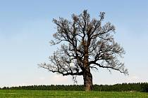 Na návrší stojí osamocený velikán. Památný dub už pamatuje hodně století.