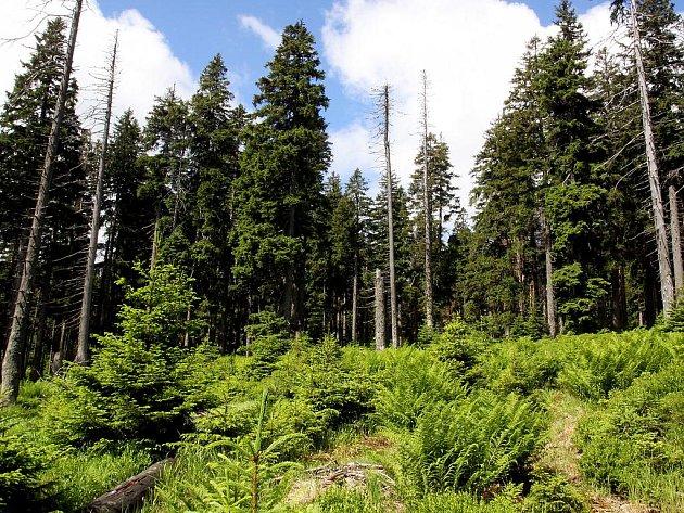 Stromy napadené kůrovcem není podle ekologů nutné kácet. Příroda si s broukem poradí lépe než člověk. Nebo ne?